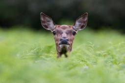 wildlife  jelen jeleń szlachetny red deer / Ref : 141