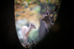 Daniel / Fallow deer / Ref : 97