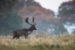 Daniel / Fallow deer / Ref : 87