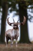 Daniel / Fallow deer / Ref : 53