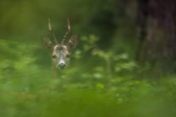 Sarna / Roe deer / Ref : 258
