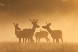 Jeleń szlachetny / Red deer / Ref : 95