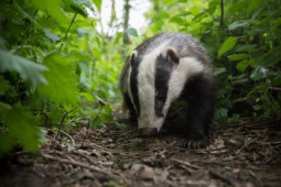 Borsuk / European badger