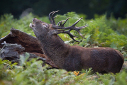 Jeleń szlachetny / Red deer / Ref : 91