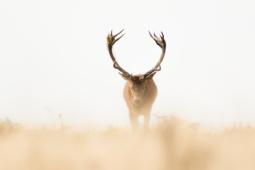 Jeleń szlachetny / Red deer / Ref : 112