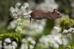 Myszarka zaroślowa / Wood mouse / Ref : 140