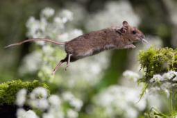 Myszarka zaroślowa / Wood mouse / Ref : 289