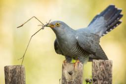 Kukułka / Common cuckoo / Ref : 296