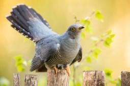 Kukułka / Common cuckoo / Ref : 200
