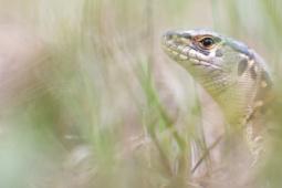 Jaszczurka zwinka / Sand lizard / Ref : 184
