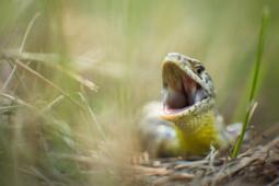 Jaszczurka zwinka / Sand lizard