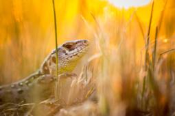 Jaszczurka zwinka / Sand lizard / Ref : 292