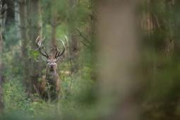 Jeleń szlachetny / Red deer / Ref : 145