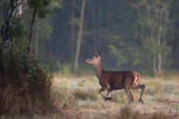 Jeleń szlachetny / Red deer / Ref : 121