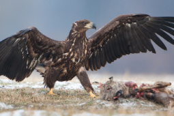 Bielik / White-tailed eagle / Ref : 51