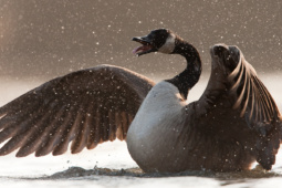 Bernikla kanadyjska / Canada goose / Ref : 59