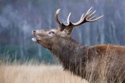 Jeleń szlachetny / Red deer / Ref : 42