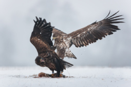 Bielik / White-tailed eagle / Ref : 240