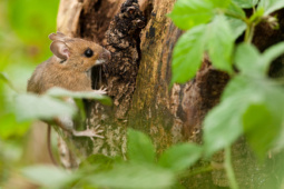 Myszarka zaroślowa / Wood mouse / Ref : 74