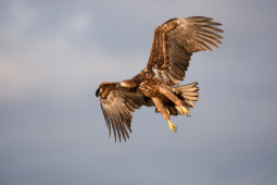 Bielik / White-tailed eagle / Ref : 72