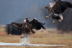 Bielik / White-tailed eagle / Ref : 43