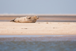 Foka szara / Grey seal