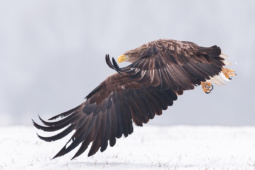 Bielik / White-tailed eagle