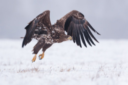 Bielik / White-tailed eagle / Ref : 229