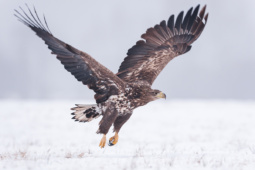 Bielik / White-tailed eagle / Ref : 221
