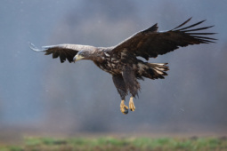 Bielik / White-tailed eagle / Ref : 293
