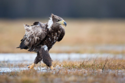 Bielik / White-tailed eagle / Ref : 275