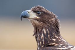 Bielik / White-tailed eagle / Ref : 233