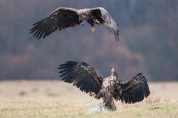 Bielik / White-tailed eagle / Ref : 65
