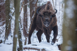 Żubr / European bison / Ref : 67
