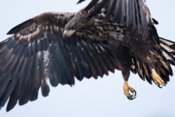 Bielik / White-tailed eagle / Ref : 79