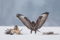 Myszołów zwyczajny / Common buzzard / Ref : 152