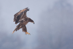 Bielik / White-tailed eagle / Ref : 70