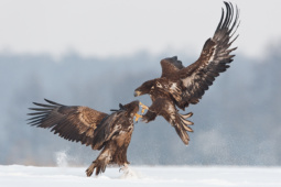 Bielik / White-tailed eagle / Ref : 46