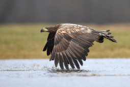 Bielik / White-tailed eagle / Ref : 75