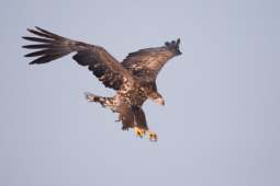 Bielik / White-tailed eagle / Ref : 20