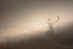 Jeleń szlachetny / Red deer / Ref : 77
