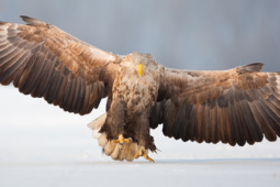 Bielik / White-tailed eagle / Ref : 281