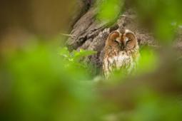Puszczyk / Tawny owl / Ref : 244