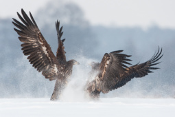 Bielik / White-tailed eagle / Ref : 119