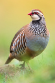 Kuropatwa czerwona / Red-legged partridge