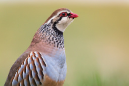 Kuropatwa czerwona / Red-legged partridge / Ref : 134