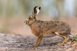 Zając szarak / European hare / Ref : 262