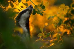 Borsuk / European badger