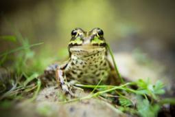 Żaba wodna / Water frog / Ref : 50