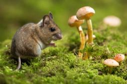 Myszarka zaroślowa / Wood mouse / Ref : 216